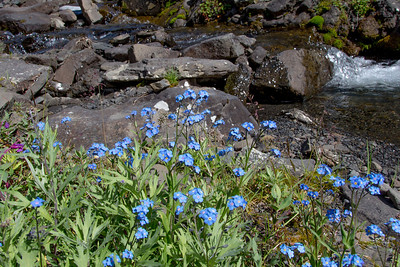 Forget-me-nots, the Alaska state flower, line the banks of Tattler Creek in Denali National Park and Preserve.  Filename: AKA-13-3899-251.jpg
