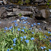 "Forget-me-nots, the Alaska state flower, line the banks of Tattler Creek in Denali National Park and Preserve.  <div class=""ss-paypal-button"">Filename: AKA-13-3899-251.jpg</div><div class=""ss-paypal-button-end"" style=""""></div>"