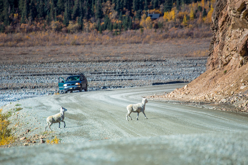 """A pair of Dall sheep cross the road near the Toklat River in Denali National Park and Preserve.  <div class=""""ss-paypal-button"""">Filename: AKA-13-3942-57.jpg</div><div class=""""ss-paypal-button-end"""" style=""""""""></div>"""
