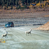 "A pair of Dall sheep cross the road near the Toklat River in Denali National Park and Preserve.  <div class=""ss-paypal-button"">Filename: AKA-13-3942-57.jpg</div><div class=""ss-paypal-button-end"" style=""""></div>"