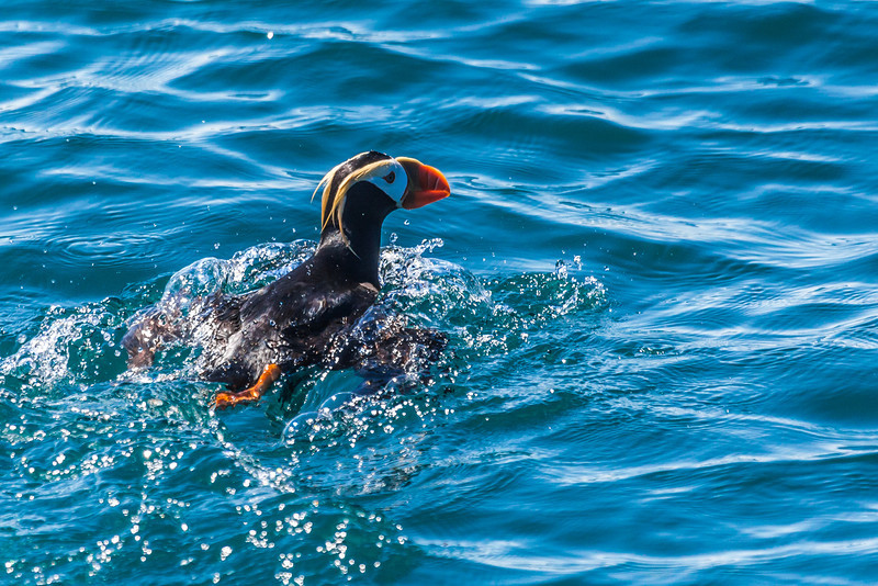 "Tufted puffins are commonly seen in the waters of Kenai Fjords National Park near Seward.  <div class=""ss-paypal-button"">Filename: AKA-13-3901-71.jpg</div><div class=""ss-paypal-button-end"" style=""""></div>"