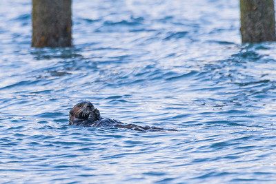 A sea otter feeds of shellfish near the boat harbor in Seward, Alaska.  Filename: AKA-13-3901-60.jpg