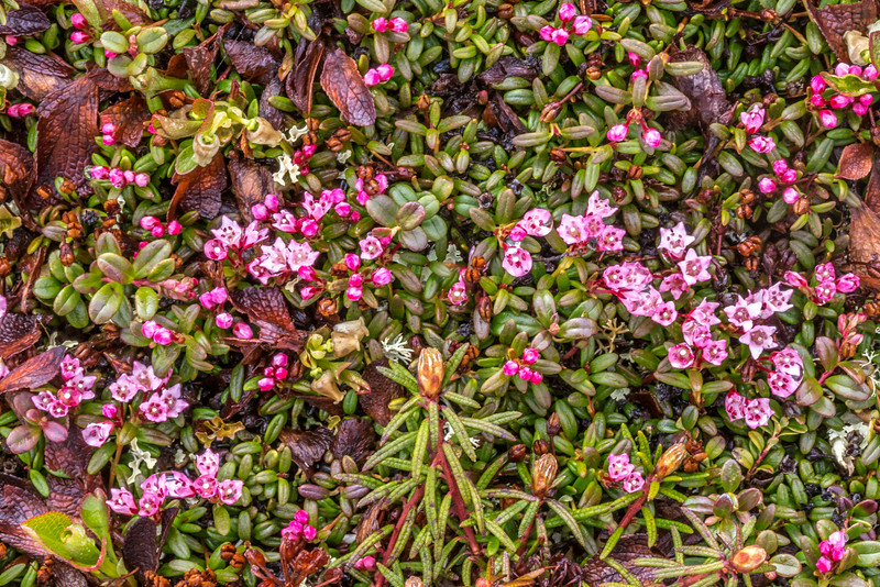 """An assortment of wild flowers flourish during the brief summer on Alaska's north slope.  <div class=""""ss-paypal-button"""">Filename: AKA-14-4218-055.jpg</div><div class=""""ss-paypal-button-end""""></div>"""