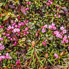 "An assortment of wild flowers flourish during the brief summer on Alaska's north slope.  <div class=""ss-paypal-button"">Filename: AKA-14-4218-055.jpg</div><div class=""ss-paypal-button-end""></div>"