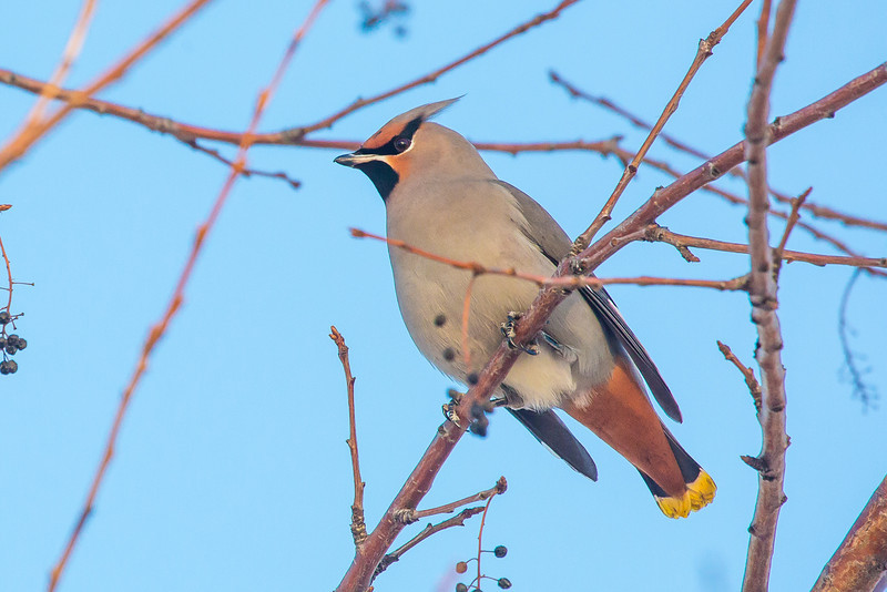 """Bohemian waxwings feed on berries from a tree on the Fairbanks campus on a November afternoon.  <div class=""""ss-paypal-button"""">Filename: AKA-12-3650-9.jpg</div><div class=""""ss-paypal-button-end"""" style=""""""""></div>"""