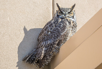 A great horned owl takes a morning break on the awning above the front doors of the Chapman Building on the Fairbanks campus.  Filename: AKA-13-3792-70.jpg