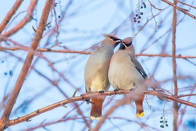 Bohemian waxwings feed on berries from a tree on the Fairbanks campus on a November afternoon.  Filename: AKA-12-3650-15.jpg