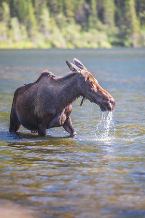 A young cow moose feeds from a lake near Chitina, Alaska.  Filename: AKA-14-4260-30.jpg