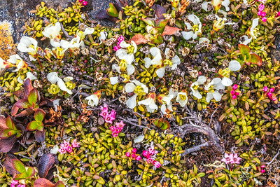 An assortment of wild flowers flourish during the brief summer on Alaska's north slope.  Filename: AKA-14-4218-094.jpg