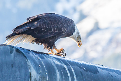 A bald eagle enjoys a herring from its perch near downtown Juneau.  Filename: AKA-14-4059-106.jpg