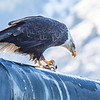 "A bald eagle enjoys a herring from its perch near downtown Juneau.  <div class=""ss-paypal-button"">Filename: AKA-14-4059-106.jpg</div><div class=""ss-paypal-button-end"" style=""""></div>"