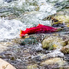 "A sockeye salmon returns from years in the ocean to its home in Alaska's Interior before spawning near the headwaters of the Gulkana River.  <div class=""ss-paypal-button"">Filename: AKA-15-4601-051.jpg</div><div class=""ss-paypal-button-end""></div>"