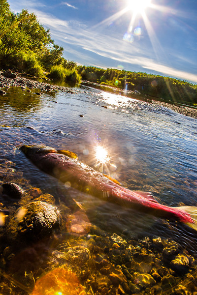 """A spawned out sockeye salmon will slowly decompose and serve to fertilize the waters of the Gulkana River.  <div class=""""ss-paypal-button"""">Filename: AKA-13-3901-54.jpg</div><div class=""""ss-paypal-button-end"""" style=""""""""></div>"""
