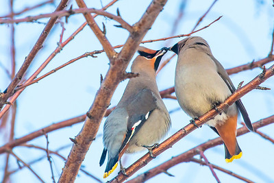 Bohemian waxwings feed on berries from a tree on the Fairbanks campus on a November afternoon.  Filename: AKA-12-3650-3.jpg