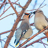 "Bohemian waxwings feed on berries from a tree on the Fairbanks campus on a November afternoon.  <div class=""ss-paypal-button"">Filename: AKA-12-3650-3.jpg</div><div class=""ss-paypal-button-end"" style=""""></div>"