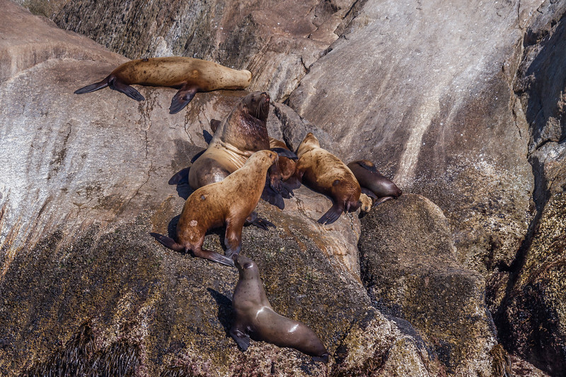 "Sea lions bask in the sun on rocks in Resurrection Bay near Seward.  <div class=""ss-paypal-button"">Filename: AKA-13-3901-66.jpg</div><div class=""ss-paypal-button-end"" style=""""></div>"