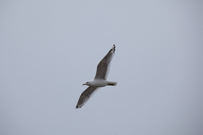 "A gull soars overhead in Dillingham.  <div class=""ss-paypal-button"">Filename: AKA-12-3406-096.jpg</div><div class=""ss-paypal-button-end"" style=""""></div>"