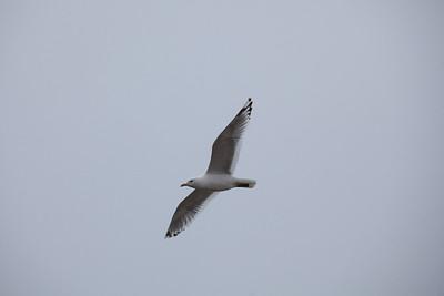 A gull soars overhead in Dillingham.  Filename: AKA-12-3406-096.jpg
