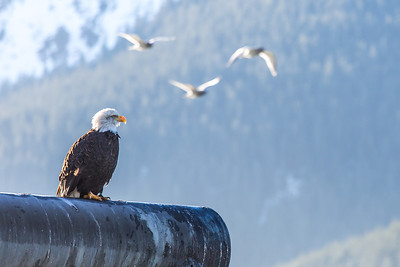 A bald eagle sits while gulls fly by near downtown Juneau.  Filename: AKA-14-4059-72.jpg