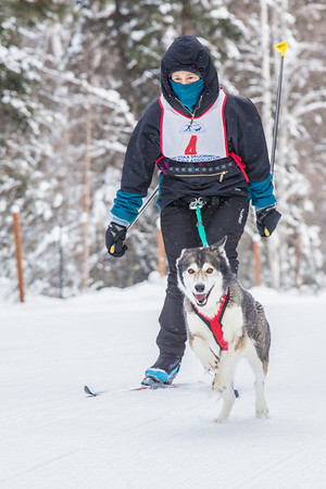 Members of the Alaska Skijor & Pulk Association race on the UAF ski trails during a scheduled event in Feb., 2013.  Filename: AKA-13-3731-16.jpg