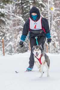 Members of the Alaska Skijor & Pulk Association race on the UAF ski trails during a scheduled event in Feb., 2013.  Filename: AKA-13-3731-16.jpg