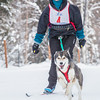 "Members of the Alaska Skijor &amp; Pulk Association race on the UAF ski trails during a scheduled event in Feb., 2013.  <div class=""ss-paypal-button"">Filename: AKA-13-3731-16.jpg</div><div class=""ss-paypal-button-end"" style=""""></div>"