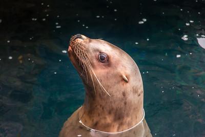 A female sea lion inspects visitors to its home at the Alaska Sea Life Center in Seward.  Filename: AKA-15-4475-247.jpg
