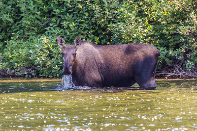 A cow moose feeds on water plants from a lake near the town of Chitina which borders the Wrangell St. Elias National Park.  Filename: AKA-13-3901-15.jpg