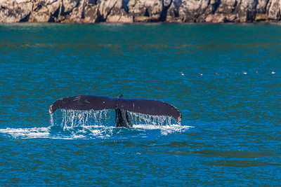 A humpback whale displays its distinctive tail as it dives in Resurrection Bay near Seward.  Filename: AKA-13-3901-72.jpg