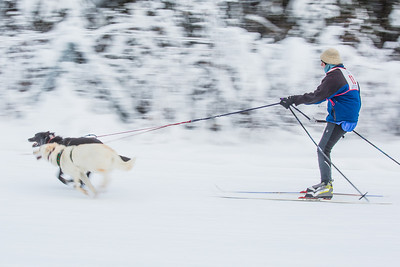 Members of the Alaska Skijor & Pulk Association race on the UAF ski trails during a scheduled event in Feb., 2013.  Filename: AKA-13-3731-66.jpg