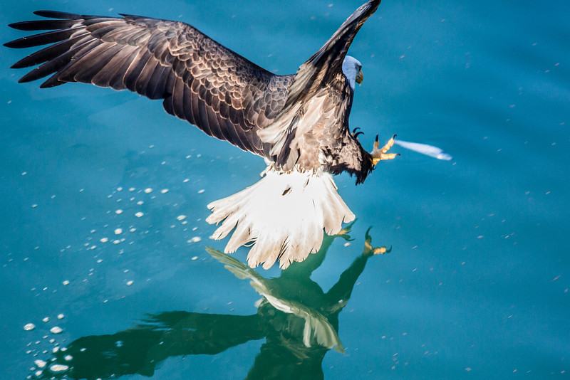 "A bald eagle grabs a floating herring near downtown Juneau.  <div class=""ss-paypal-button"">Filename: AKA-14-4059-99.jpg</div><div class=""ss-paypal-button-end"" style=""""></div>"