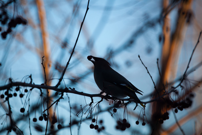 """Bohemian waxwings visit campus in mid-November 2012.  <div class=""""ss-paypal-button"""">Filename: AKA-12-3651-6.jpg</div><div class=""""ss-paypal-button-end"""" style=""""""""></div>"""