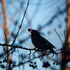"Bohemian waxwings visit campus in mid-November 2012.  <div class=""ss-paypal-button"">Filename: AKA-12-3651-6.jpg</div><div class=""ss-paypal-button-end"" style=""""></div>"