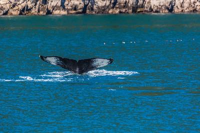 A humpback whale displays its distinctive tail as it dives in Resurrection Bay near Seward.  Filename: AKA-13-3901-73.jpg