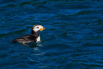 Horned puffins are commonly seen in the waters of Kenai Fjords National Park near Seward.  Filename: AKA-13-3901-68.jpg