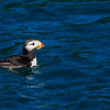 "Horned puffins are commonly seen in the waters of Kenai Fjords National Park near Seward.  <div class=""ss-paypal-button"">Filename: AKA-13-3901-68.jpg</div><div class=""ss-paypal-button-end"" style=""""></div>"