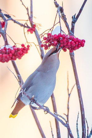 Bohemian waxwings feed on berries from a tree on the Fairbanks campus on a November afternoon.  Filename: AKA-12-3650-65.jpg