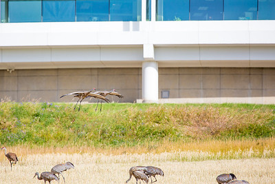 Sandhill cranes stop off in the field below the Butrovich Building on UAF's West Ridge on their way south for the winter.  Filename: AKA-12-3527-62.jpg