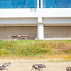 "Sandhill cranes stop off in the field below the Butrovich Building on UAF's West Ridge on their way south for the winter.  <div class=""ss-paypal-button"">Filename: AKA-12-3527-62.jpg</div><div class=""ss-paypal-button-end"" style=""""></div>"
