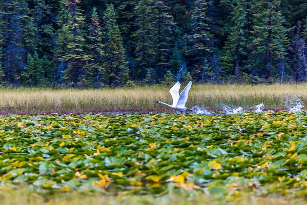 """A swan takes off from a small pond in Alaska's Copper River Valley.  <div class=""""ss-paypal-button"""">Filename: AKA-15-4601-135.jpg</div><div class=""""ss-paypal-button-end""""></div>"""