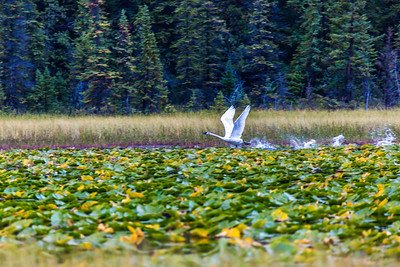 A swan takes off from a small pond in Alaska's Copper River Valley.  Filename: AKA-15-4601-135.jpg