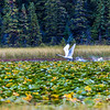 "A swan takes off from a small pond in Alaska's Copper River Valley.  <div class=""ss-paypal-button"">Filename: AKA-15-4601-135.jpg</div><div class=""ss-paypal-button-end""></div>"