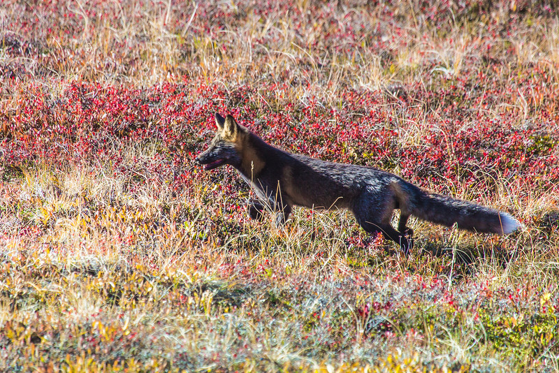 """A fox prowls among the fall colors near the Eielson Visitors' Center in Denali National Park and Preserve.  <div class=""""ss-paypal-button"""">Filename: AKA-13-3942-123.jpg</div><div class=""""ss-paypal-button-end"""" style=""""""""></div>"""