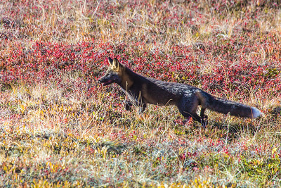 A fox prowls among the fall colors near the Eielson Visitors' Center in Denali National Park and Preserve.  Filename: AKA-13-3942-123.jpg