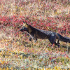 "A fox prowls among the fall colors near the Eielson Visitors' Center in Denali National Park and Preserve.  <div class=""ss-paypal-button"">Filename: AKA-13-3942-123.jpg</div><div class=""ss-paypal-button-end"" style=""""></div>"