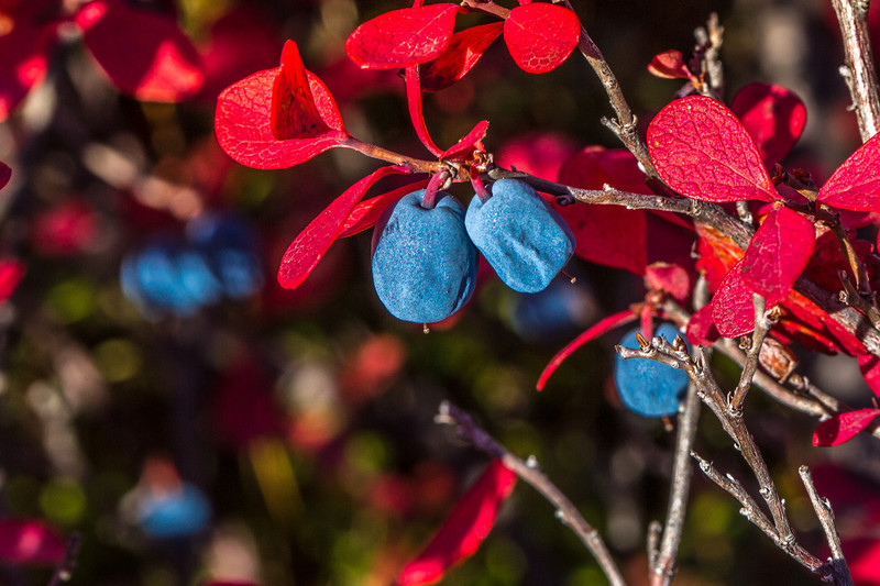 """Blueberries fourish in mid-September in Denali National Park and Preserve.  <div class=""""ss-paypal-button"""">Filename: AKA-13-3942-179.jpg</div><div class=""""ss-paypal-button-end"""" style=""""""""></div>"""