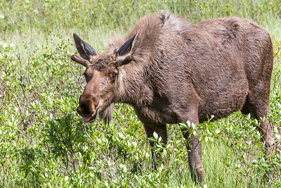 A young bull moose feeds in a swampy clearing along the Dalton Highway, about 250 miles north of Fairbanks.  Filename: AKA-14-4213-196.jpg