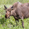 "A young bull moose feeds in a swampy clearing along the Dalton Highway, about 250 miles north of Fairbanks.  <div class=""ss-paypal-button"">Filename: AKA-14-4213-196.jpg</div><div class=""ss-paypal-button-end""></div>"