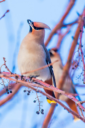 Bohemian waxwings feed on berries from a tree on the Fairbanks campus on a November afternoon.  Filename: AKA-12-3650-21.jpg