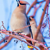 "Bohemian waxwings feed on berries from a tree on the Fairbanks campus on a November afternoon.  <div class=""ss-paypal-button"">Filename: AKA-12-3650-21.jpg</div><div class=""ss-paypal-button-end"" style=""""></div>"